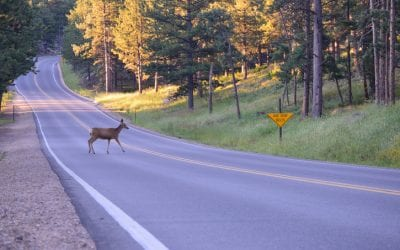 Hit a Deer? Get Your Windshield Replaced Today